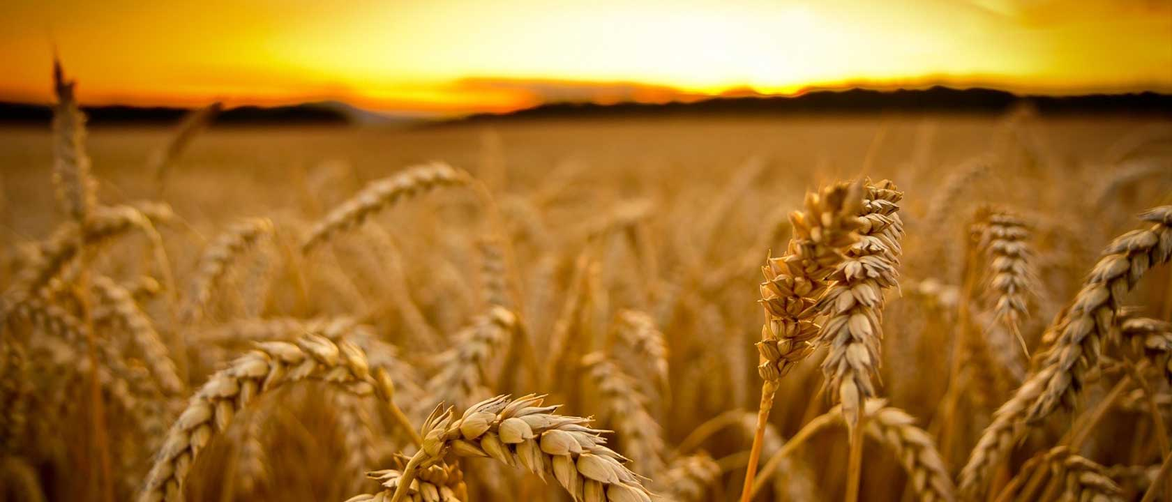 Wheat 150% increase in production rate