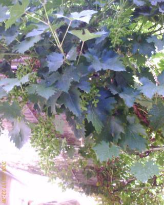 Sour Grapes (9)