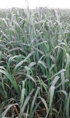 WheatFarmNew2