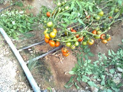 tomato (3)