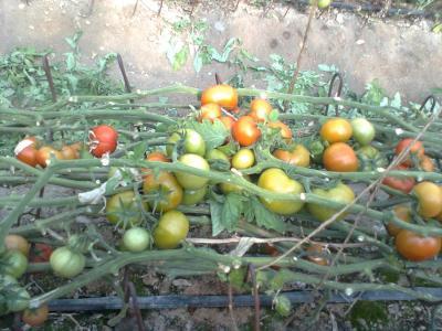 tomato (4)