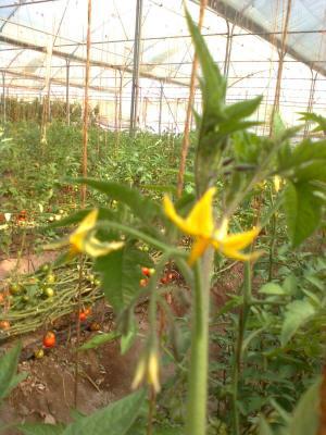 tomato (8)