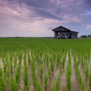 مزرعه برنج زیر کشت