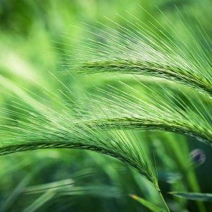 foxtail barley, plant, grass