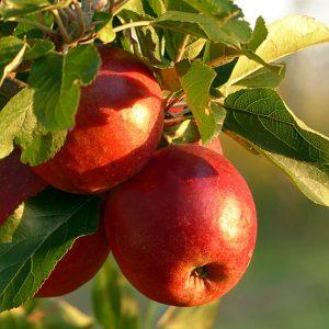 fruit, apple, malum