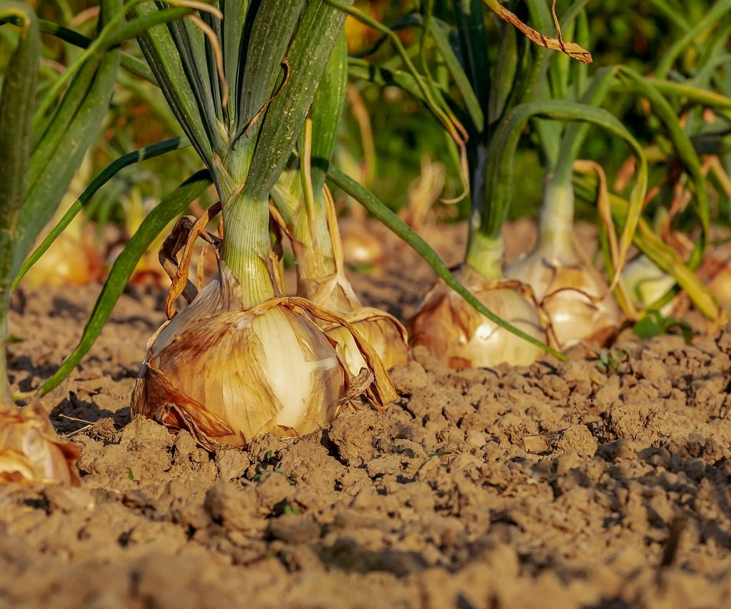 onion, arable, field