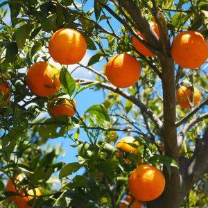 تاثیر کود بر میوه مرکبات