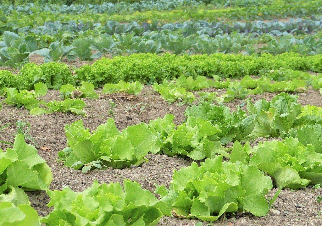 سبزیجات کشاورزی